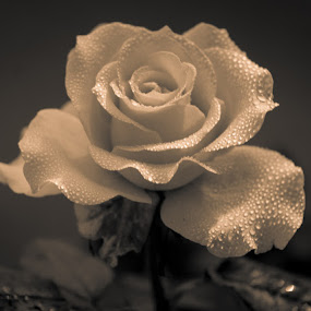Rose - Black & White by Gunbir Singh - Flowers Single Flower ( rose, winter, single, fine art, dew drops, gunbir, flower, black&white )