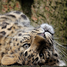 Leopard Cub by Ralph Harvey - Animals Lions, Tigers & Big Cats ( wildlife, ralph harvey, cub, leopard, marwell zoo, animal )