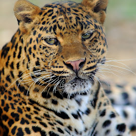 Persian leopard by Gérard CHATENET - Animals Lions, Tigers & Big Cats