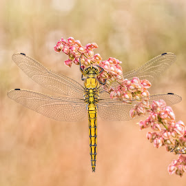 Orthetrum cancellatum (linneas 1758) by Eric Niko - Animals Insects & Spiders ( predator, fly, wings, orthetrum cancellatum, yellow, dragonfly )