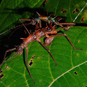 Touch-Me-Not Stick Insect, Phasmid