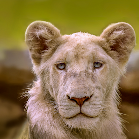 White wet Lion by Mauritz Janeke - Animals Lions, Tigers & Big Cats ( zoo life, lion protrait, white lions, white lion, pantera, mauritius, mauritz, wildlife, wet lion, portrait, bigcat,  )