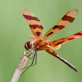 by Herb Houghton - Animals Insects & Spiders ( macro, ode, herbhoughton.com, dragonfly, halloween pennant )