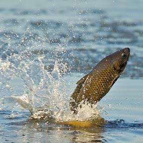 by Herb Houghton - Animals Fish ( carp, fish, free jumping fish )