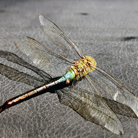 Dragonfly Skeletal Skin by Lynette Phipps - Animals Insects & Spiders