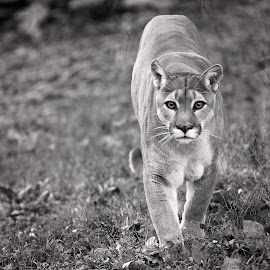 Mountain Lion by Tony Bendele - Animals Lions, Tigers & Big Cats ( cats, cat, outdoors, mountain lion )