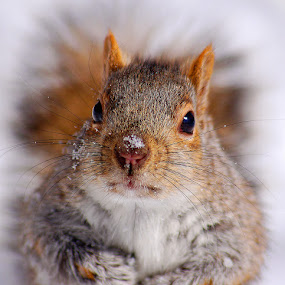 by Mircea Costina - Animals Other Mammals ( wild, winter, canada, wildlife, sciurus, grey, carolinensis, squirrel )