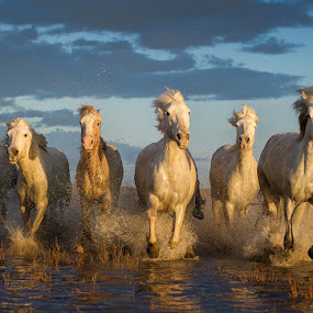 Carmargue Horses by Adrian Lines - Animals Horses