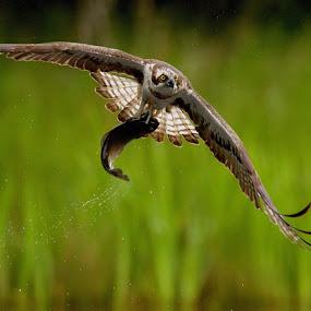 Opsprey by Charlie Davidson - Animals Birds ( bird, wild, bird of prey, nature, wildlife, raptor, scotalnd, animal )