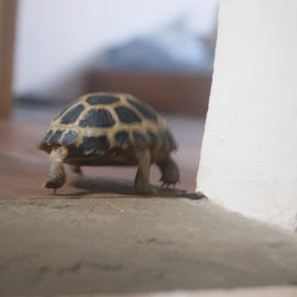 let's get around by Muhammad Rivaldi - Animals Reptiles ( baby tortoise, tortoise, baby animal, cute, animal )