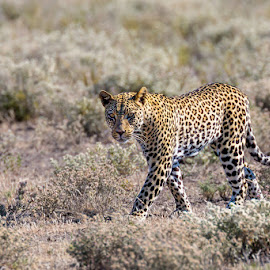 Lonesome wanderer by Timo Bierbaum - Animals Lions, Tigers & Big Cats ( predator, cat, afrika, etosha pan, leopard, namibia )
