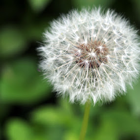 Dandelion  by David Shayani - Nature Up Close Flowers - 2011-2013 ( dandelion, nature, green, puffy, white, close up, flower )