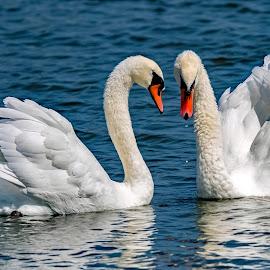 by Ioannis Alexander - Animals Birds ( swan )