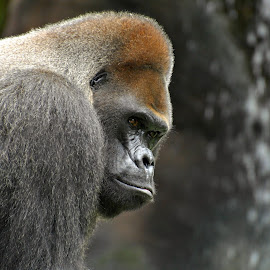 Casey 4 by A.j. Amos - Animals Other ( zoo, nature, ape, gorilla, wildlife )