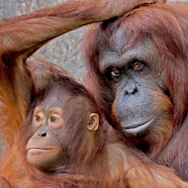 by Shelly Wetzel - Animals Other Mammals ( orangutan )