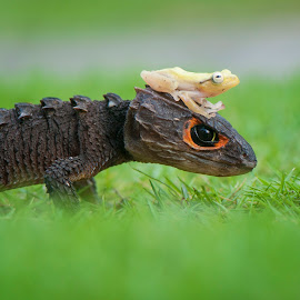 Walking In The Morning by Riza Arif Pratama - Animals Reptiles ( animals, grass, sulawesi, frog, indonesia, croc skink, friendship, golden frog, reptile, bokeh, animal )