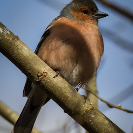 Chaffinch by Andrew Lancaster - Animals Birds ( colour, bird, tree, nature, chaffinch, shadow, wildlife, branch, beauty, feathers )
