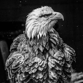 Sam by Garry Chisholm - Black & White Animals ( bird, eagle, nature, prey, raptor, bald )