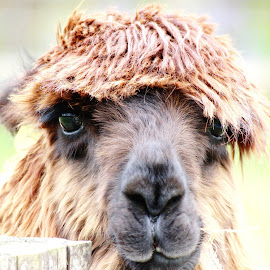 Llama by Mike Thornberry - Animals Other ( sweet, cute, llama, animal )
