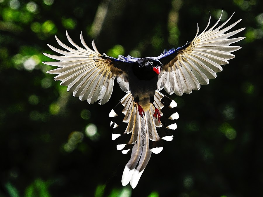Formosan Blue Magpie by ZW Young - Animals Birds