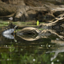 Untitled by Cliff Lavigne - Animals Reptiles ( driftwood, peaceful, painted turtle, sunning )