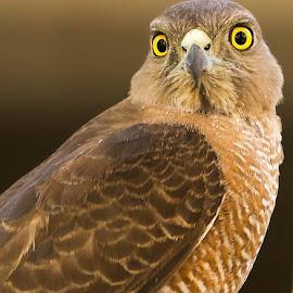 Shikra by S Balaji - Animals Birds ( s.balaji, wild, animals, nature, birds, shikra )