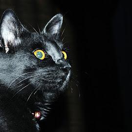 The Pino by Dedi Mulyadi Rusnandar - Animals - Cats Portraits ( cats, kitten, animals, cat, pet, pets, kittens, kitties, kitty, animal )