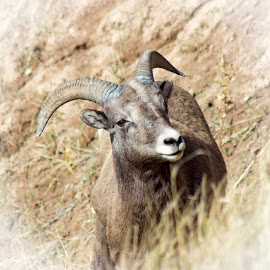 Curious Big Horn Sheep by Phil Deets - Animals Other Mammals ( big horn sheep, national park, south dakota, badlands,  )