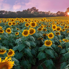 Field of Sunflowers by Karen Carter - Uncategorized All Uncategorized ( field, sunflowers )