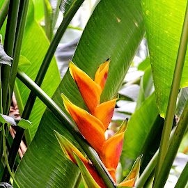 Northshore Lobster Claw by Emily Harrison - Nature Up Close Other plants ( orange, red, lobster claw, hawaiian flower, yellow, oahu, hawaii, northshore )