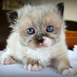 Blue by Radita Watkinson - Animals - Cats Kittens
