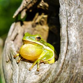 Rainmaker by Brian Box - Animals Amphibians ( arkansas photographer, frog, rainfrog, tree frog, green frog, arkansas )