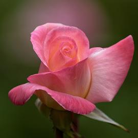 Rose 9902 by Raphael RaCcoon - Flowers Single Flower ( rose )