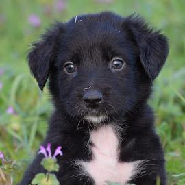 Puppy by Holly Dolezalik - Animals - Dogs Puppies ( love, puppy, dog, black, animal )