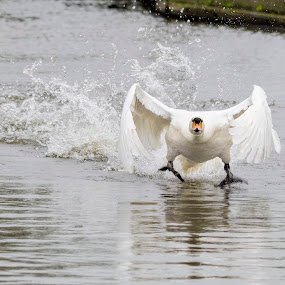 Swan take off by Steven Stamford - Animals Birds ( flying, waterbird, mute swan, splash, splashing, fauna, white swan, swan, wildlife, swan flight, cygnus olor, water bird,  )