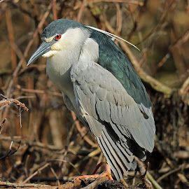 Black Crowned Heron by Anthony Goldman - Animals Birds ( bird, wild, florida., nught, tampa, wildlifemherin, black crownr=ed, rookery )