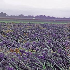 Perfect Artichokes by Annette Lagunas - Landscapes Prairies, Meadows & Fields (  )