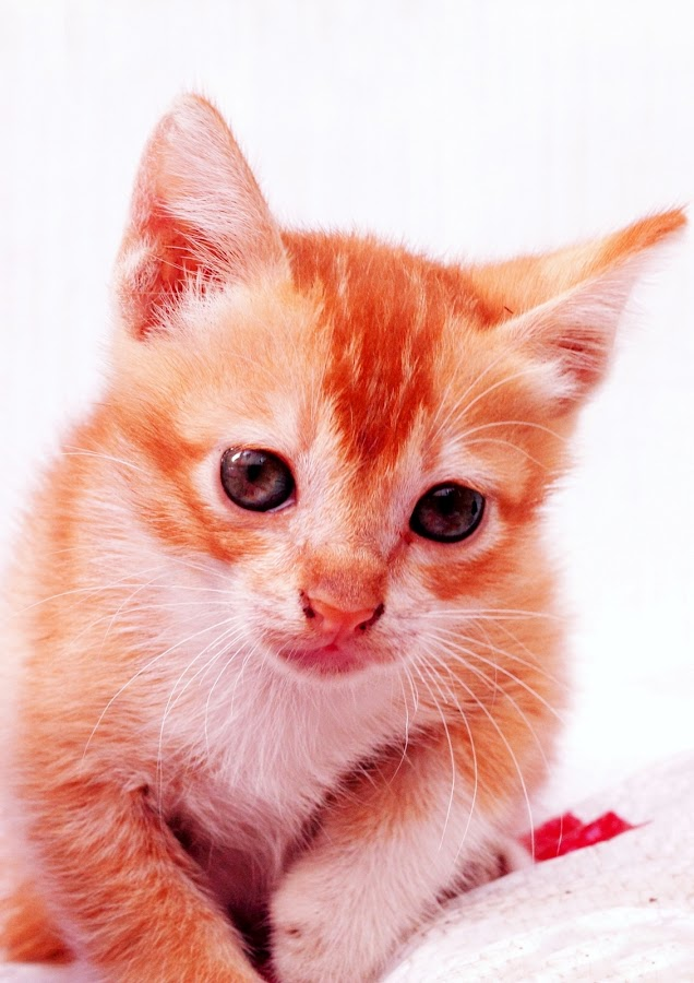 by Yuliani Liputo - Animals - Cats Kittens ( cat, kitten, orange cat, pet, marmalade, cute cat, portrait )