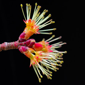 Reaching Out by Christopher Burnett - Nature Up Close Flowers - 2011-2013 ( tree, stamen, red maple, flower )