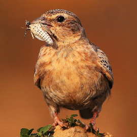 Ashy crowned sparrow lark by Nelson Thekkel - Animals Birds