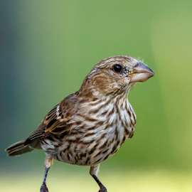 Female House Finch by Buddy Woods - Animals Birds ( bird, backyard bird, house finch, female house finch, finch, birds,  )