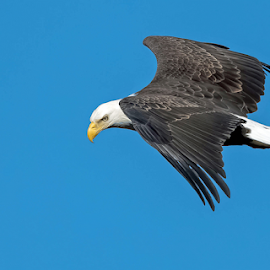 by Ioannis Alexander - Animals Birds ( raptor, bird of prey, bald eagle, wildlife )