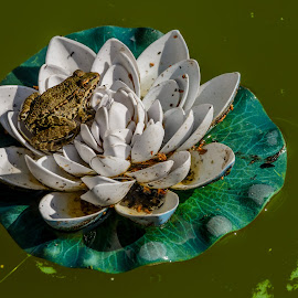 Frog on the plastic waterlily flower by Darko Zivlakovic - Animals Amphibians ( leaf, attraction, lotus, nature, foliage, focus, flower, lillie, wild, grass, blooms, white, amphibian, lake, amphibians, sitting, lilypad, outdoors, floating, toad, water lily, floral, plant, frog, wildlife, beauty, blossom, waterlily, wet, colored, water-lily, pond, closeup, swamp, animal, water, pad, green, beautiful, bloom, restful, close-up, lilli, lily, aquatic, color, outdoor, summer, lilly,  )
