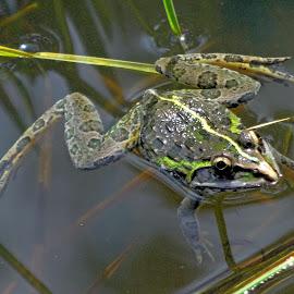 Frog by Asif Bora - Animals Amphibians