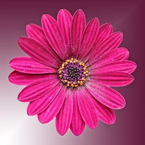 AYLI osteo 01 by Michael Moore - Flowers Single Flower (  )