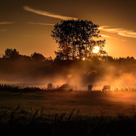 This is not Africa by Olivier Damanet - Landscapes Prairies, Meadows & Fields ( sunrise, cows )