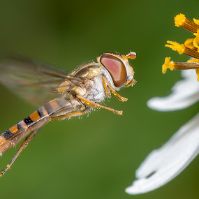 flowerflies by Ken Cheung - Animals Insects & Spiders ( flowerflies, syrphidflies, fly, flies )