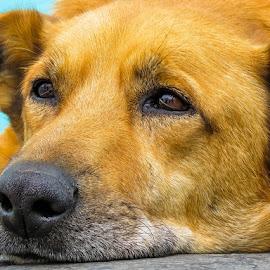 Bo-Kaap dog by Jana  Malherbe - Animals - Dogs Portraits ( labrador, doggie, mans best friend, dog, dog portrait,  )