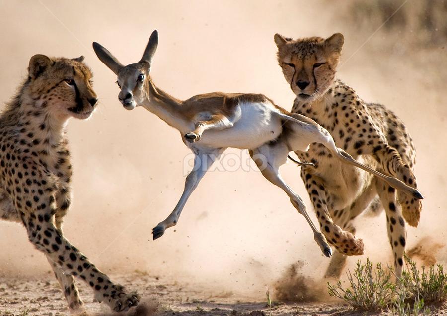 Moments by Bridgena Barnard - Animals Lions, Tigers & Big Cats ( cheetah, animals, barnard, kill, images, hunt, springbok, fantastic wildlife, kgalagadi, bridgena )