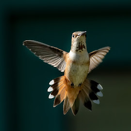 Rufous Hummingbird by Sheldon Bilsker - Animals Birds ( bird, nature, hummingbird, animal,  )